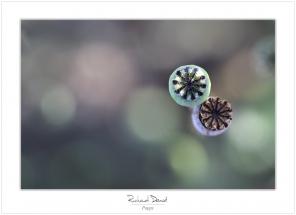 Macro-flore #006_Poppy