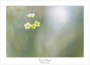 Macro-flore #007_Primula quatuor