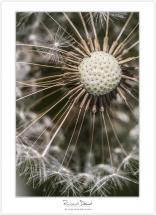 Macro-flore #010_Au coeur de la dent de lion